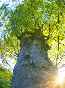 新緑の前山寺参道のケヤキと夕日の木もれ日の写真素材 [FYI04875662]