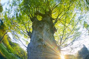 新緑の前山寺参道のケヤキと夕日の木もれ日の写真素材 [FYI04875663]