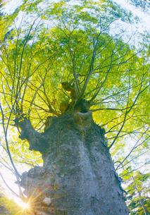 新緑の前山寺参道のケヤキと夕日の木もれ日の写真素材 [FYI04875664]