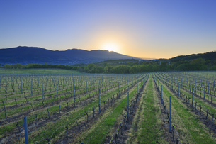 春の椀子ヴィンヤードと浅間山から朝日が昇る瞬間の写真素材 [FYI04875667]