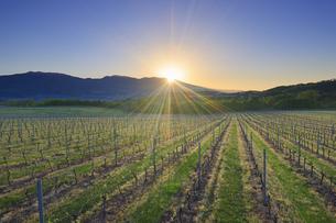 春の椀子ヴィンヤードと浅間山から昇る朝日の写真素材 [FYI04875668]