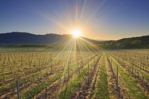 春の椀子ヴィンヤードと浅間山から昇る朝日の写真素材 [FYI04875669]