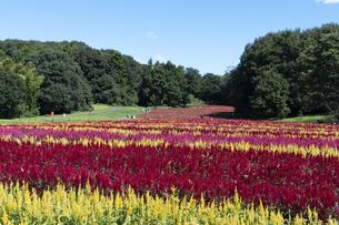 ケイトウの花畑の写真素材 [FYI04875933]