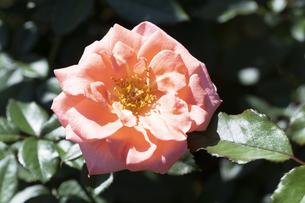 オレンジ色のバラの花の写真素材 [FYI04875947]