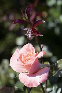 オレンジ色のバラの花の写真素材 [FYI04875949]