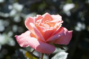 オレンジ色のバラの花の写真素材 [FYI04875950]