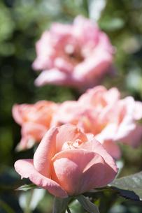 オレンジ色のバラの花の写真素材 [FYI04875953]
