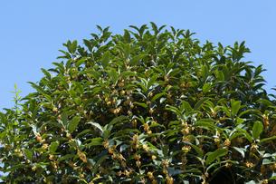 キンモクセイの花の写真素材 [FYI04875971]