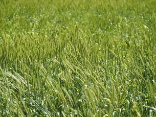 青い麦の畑の写真素材 [FYI04876014]