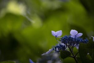 雨の紫陽花の写真素材 [FYI04876181]