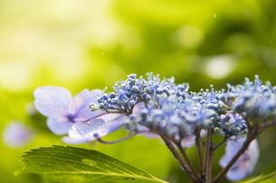 雨の紫陽花の写真素材 [FYI04876186]