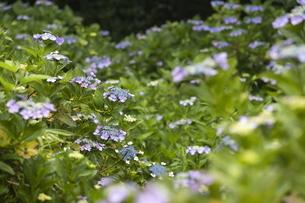雨の紫陽花の写真素材 [FYI04876188]