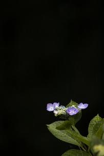 雨の紫陽花の写真素材 [FYI04876194]