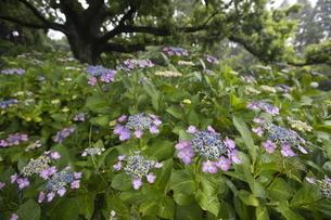 雨の紫陽花の写真素材 [FYI04876196]