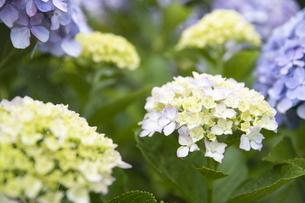 雨の紫陽花の写真素材 [FYI04876200]