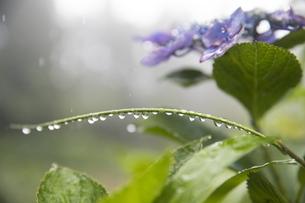 雨の紫陽花の写真素材 [FYI04876201]
