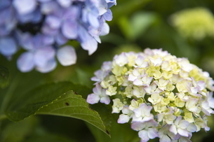 雨の紫陽花の写真素材 [FYI04876203]