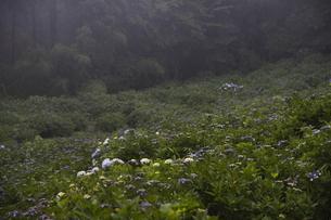雨の紫陽花の写真素材 [FYI04876204]