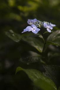 雨の紫陽花の写真素材 [FYI04876205]