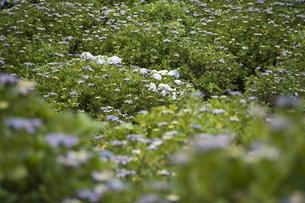 雨の紫陽花の写真素材 [FYI04876207]