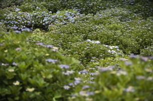 雨の紫陽花の写真素材 [FYI04876208]