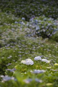 雨の紫陽花の写真素材 [FYI04876211]