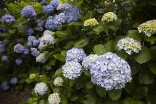 雨の紫陽花の写真素材 [FYI04876212]