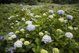 雨の紫陽花の写真素材 [FYI04876214]