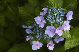 雨の紫陽花の写真素材 [FYI04876217]