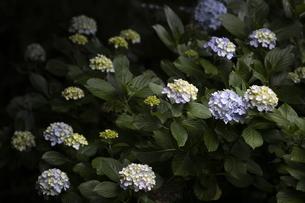 雨の紫陽花の写真素材 [FYI04876219]