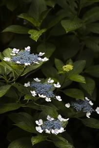雨の紫陽花の写真素材 [FYI04876221]