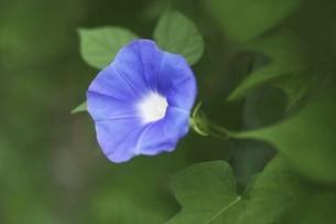 朝顔・青い花の写真素材 [FYI04876242]