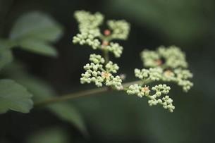 野草・ヤブガラシの花の写真素材 [FYI04876245]