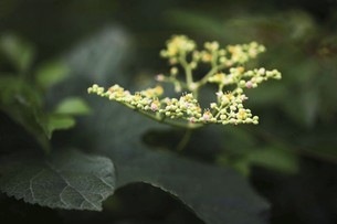 野草・ヤブガラシの花の写真素材 [FYI04876246]