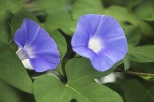 朝顔・青紫色の花の写真素材 [FYI04876249]
