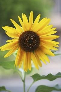 ひまわり・大輪の花の写真素材 [FYI04876256]