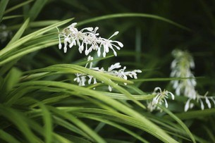 山野草・ノシランの花の写真素材 [FYI04876258]