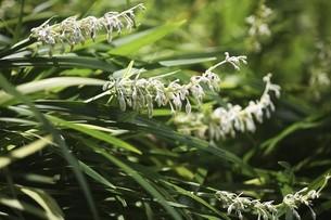 山野草・ノシランの花の写真素材 [FYI04876259]