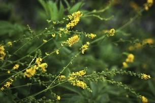 山野草・黄色いギンミズヒキの花の写真素材 [FYI04876273]