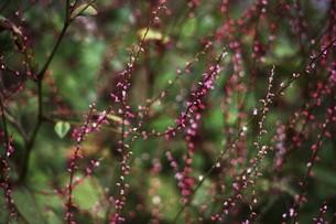 山野草・赤いミズヒキの花の写真素材 [FYI04876274]