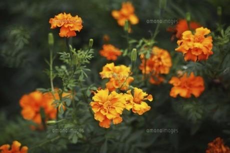 マリーゴールド・オレンジ色の花の写真素材 [FYI04876277]