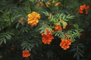 マリーゴールド・オレンジ色の花の写真素材 [FYI04876278]