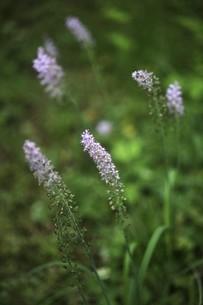 山野草・ツルボの花の写真素材 [FYI04876296]