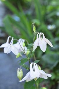 セイヨウオダマキ(キンポウゲ科)の白い花とつぼみの写真素材 [FYI04876379]