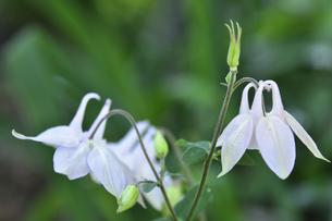 セイヨウオダマキ(キンポウゲ科)の白い花とつぼみの写真素材 [FYI04876382]