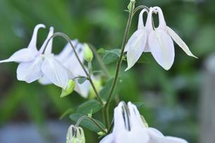 セイヨウオダマキ(キンポウゲ科)の白い花とつぼみの写真素材 [FYI04876383]