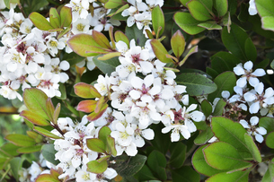 増尾城址総合公園に咲くシャリンバイの(バラ科シャリンバイ属の常緑低木)の白色の花と葉と池に浮かぶスイレン(スイレン科スイレン属)の葉の写真素材 [FYI04876391]