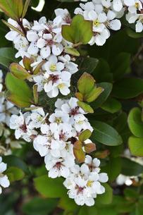 増尾城址総合公園に咲くシャリンバイの(バラ科シャリンバイ属の常緑低木)の白色の花と葉と池に浮かぶスイレン(スイレン科スイレン属)の葉の写真素材 [FYI04876392]