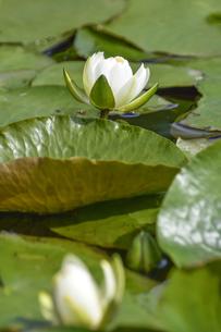 増尾城址総合公園の池に咲くスイレン(スイレン科スイレン属)の白い花と葉の写真素材 [FYI04876397]