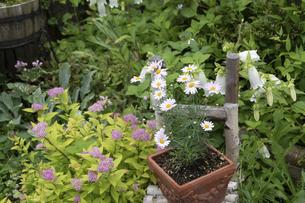 夏の庭の鉢植えのデイジーの写真素材 [FYI04876434]